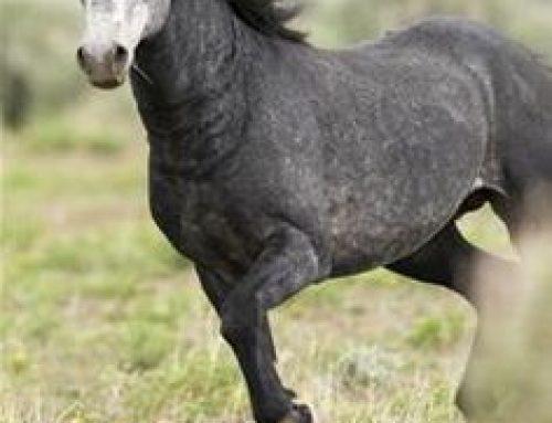The wild horses of Australia