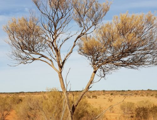 Researching in the Strzeleckie Desert – The story behind The Cedar Tree Part 2
