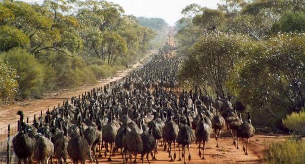 Image result for emu flock