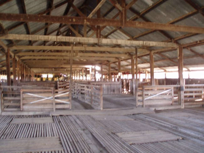 Massive trees & a canvas roof – One of our earliest woolsheds.